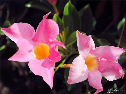 Photo de Dipladénia (Mandevilla) arbuste à fleur