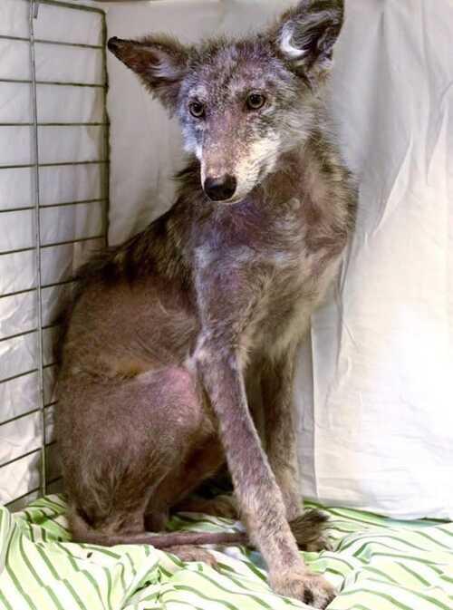 (-*♥*-) Un coyote grelottant et blessé ne peut arrêter de sourire lorsque les secouristes lui sauvent la vie.Un coyote grelottant et blessé ne peut arrêter de sourire lorsque les secouristes lui sauve