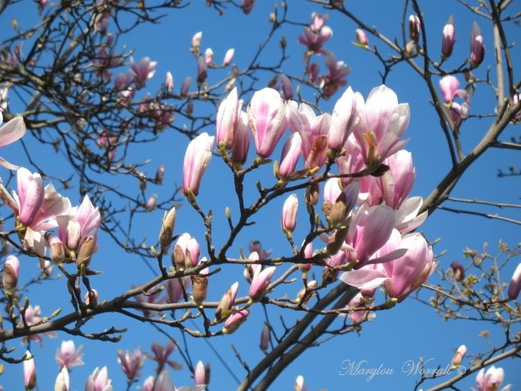 Magnolia et poisson d'avril