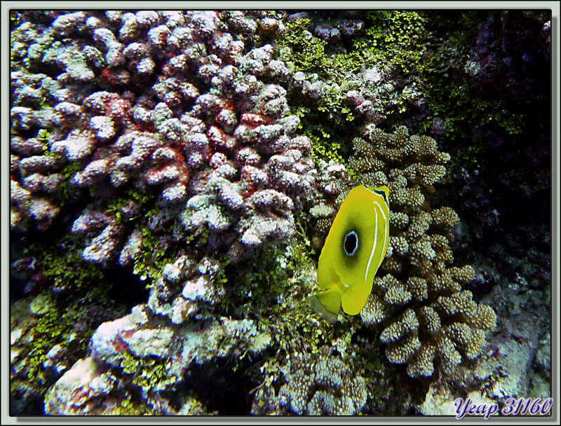Plongée bouteille Passe Tumakohua : poisson-papillon de Bennet - Fakarava - Polynésie