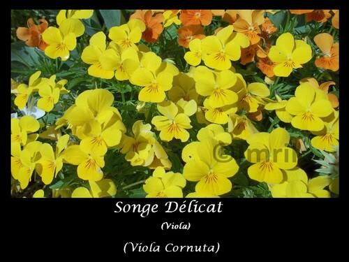 Songe Délicat ou Viola