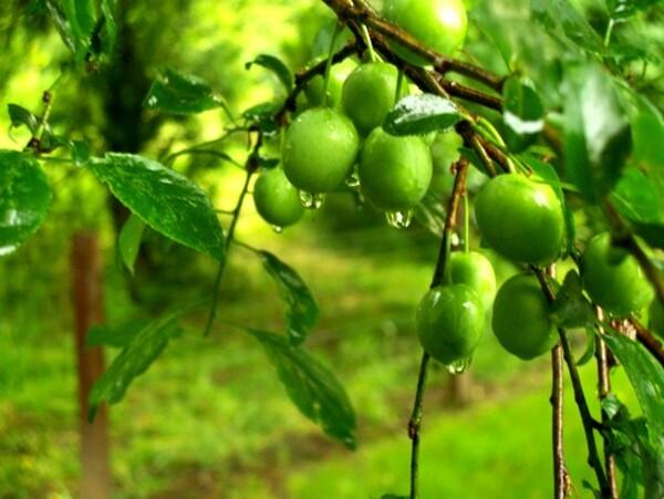 N°307-Mildéfis-Pluie sur les végétaux