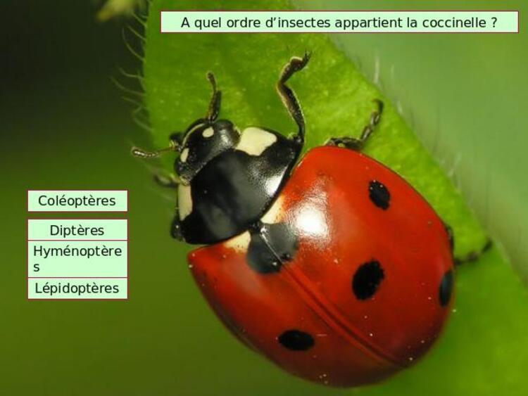 naturel pour le jardin,- La coccinelle est un insecte qui se nourrit de pucerons