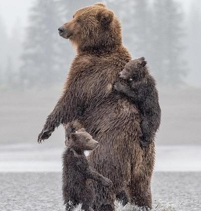 L'ours n'est pas dangereux pour l'homme (1)