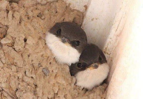 bébés hirondelle