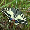 Le Machaon, le Grand Porte-Queue.jpg