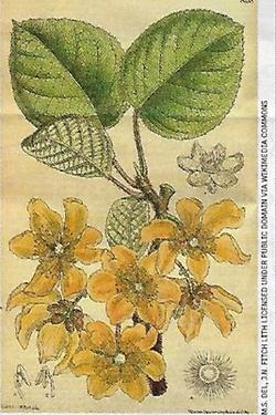 Le kiwi (3)