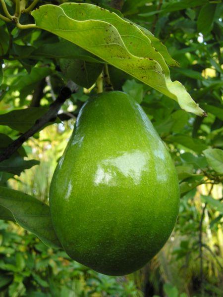 Avocat sur arbre
