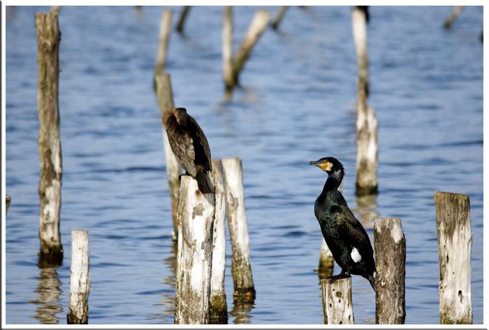 les cormorans