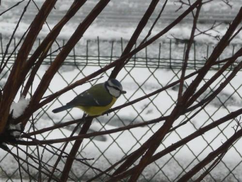 neige-mesange_02.JPG