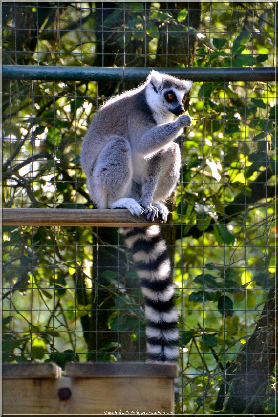 Maki catta - Zoo de la Palmyre - Charente-Maritime (3)