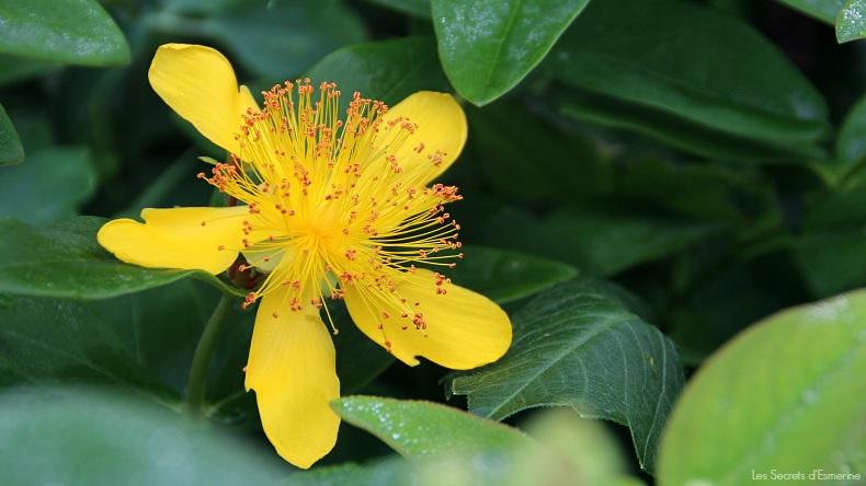 Fleurs [Défi du lundi] millepertuis