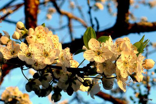 Vive le printemps: pruniers et pêchers