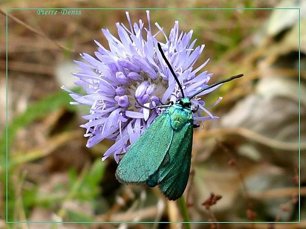 Turquoise femelle