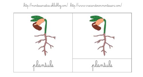 Nomenclatures : Cabinet du processus de la germination : Plantule
