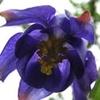 fleur-ancolie