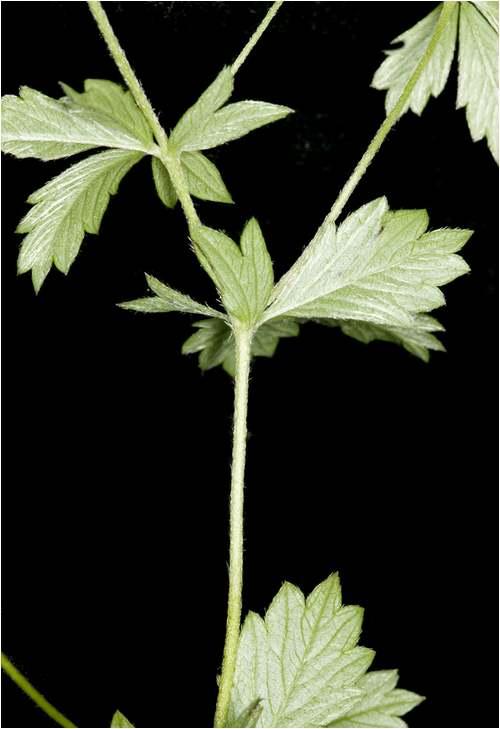 Vertus médicinales des plantes sauvages : Tormentille