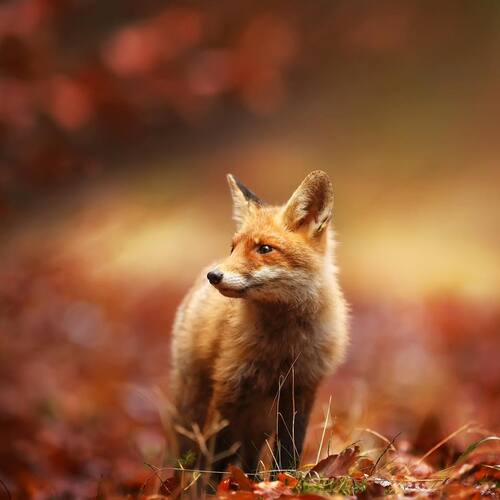 Au fil de la toile... Un renard