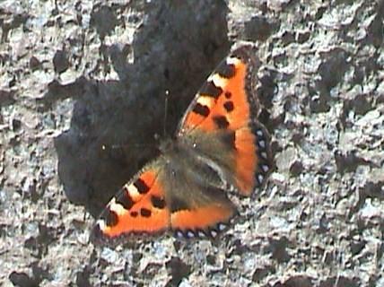 papillon, Petite tortue