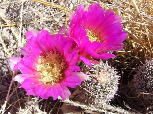 Fleurs de cactus au Nouveau Mexique