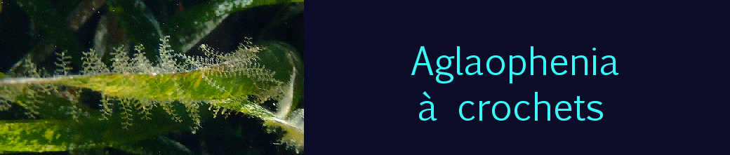 Aglaophenia à crochets