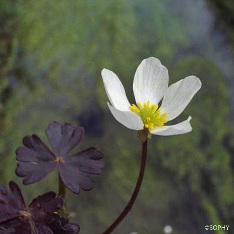 Renoncule de Lenormand - Ranunculus omiophyllus