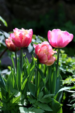 Tulipes 2017 : Pink Star