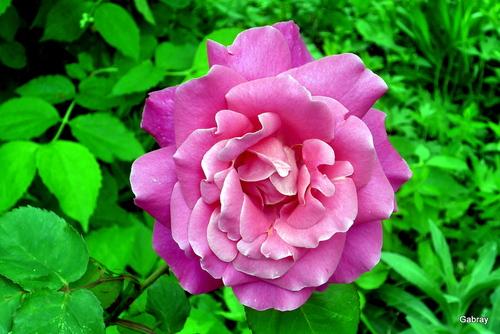 Les roses du vendredi!
