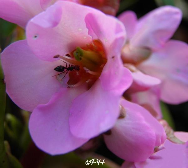 La fleur rose et la fourmi