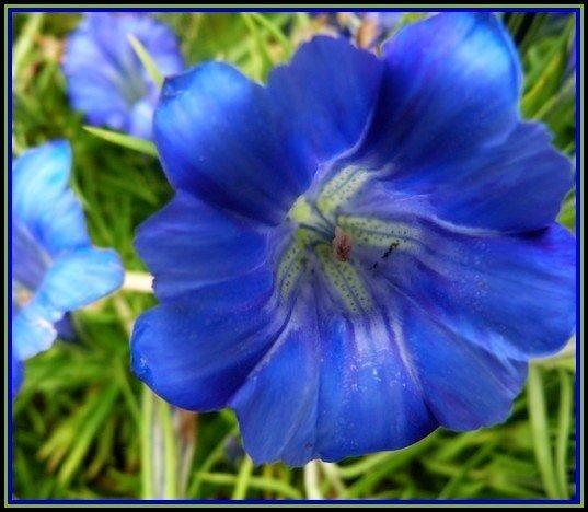 fleur-bleue-foire-aux-plntes1.jpg