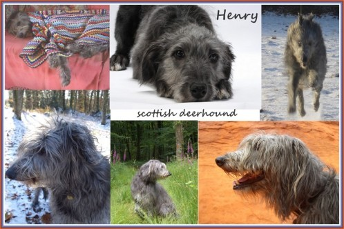mosaique-scottish-deerhound-henry-pm.jpg