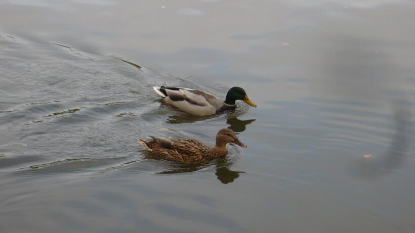 Mme canard et son homme !
