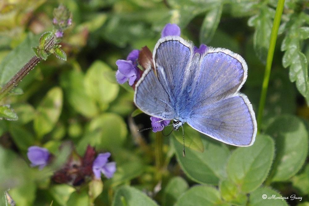 Azuré commun en habit bleu