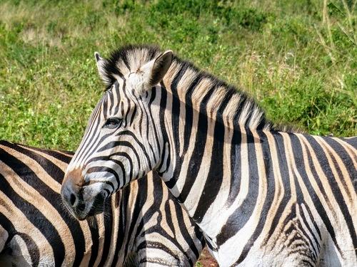 réserve de Hluhluwe; suite du safari;