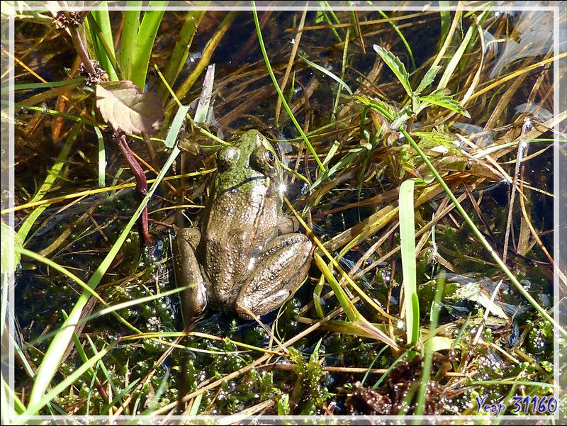 Grenouille verte, Green Frog (Lithobates clamitans) - Lac Castor - Saint-Paulin - Mauricie - Québec - Canada