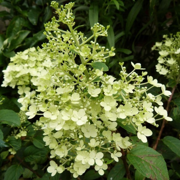 hydrangea-bobo---fleur---juillet-2014--800x800-.jpg
