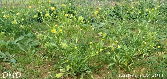 Ranunculus arvensis - renoncule des champs