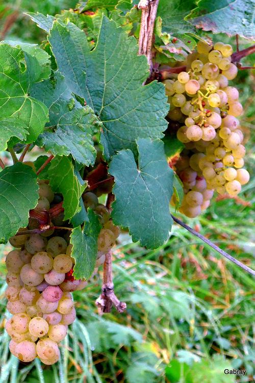 Dieffenthal: des raisins et des pommes...