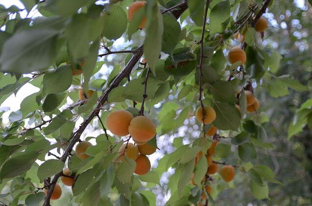 Abricot à la crème