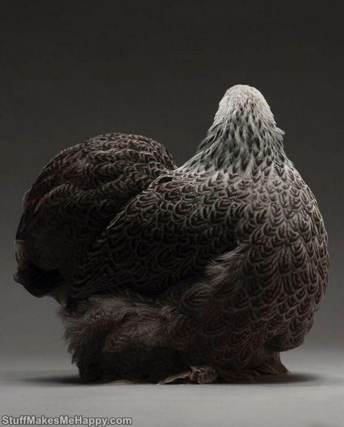 Photographie de poulet: les meilleurs et les plus beaux poulets du monde