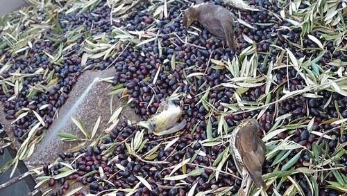 Des millions d'oiseaux tués… pour produire de l'huile d'olive !