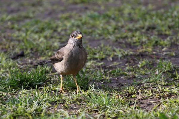 D'autres oiseaux, le long de l'avenue O'Higgins