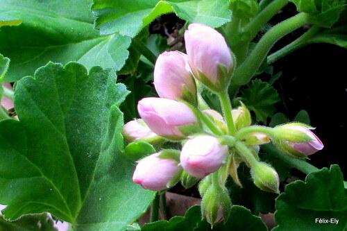 Mon géranium va fleurir !