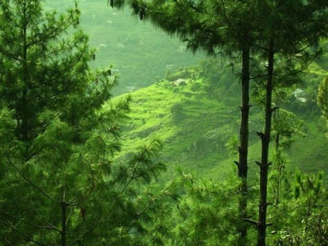 19. The thriving forests of Murree