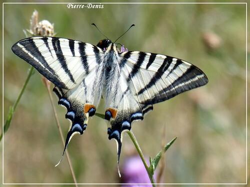 petits papillons du dimanche .....