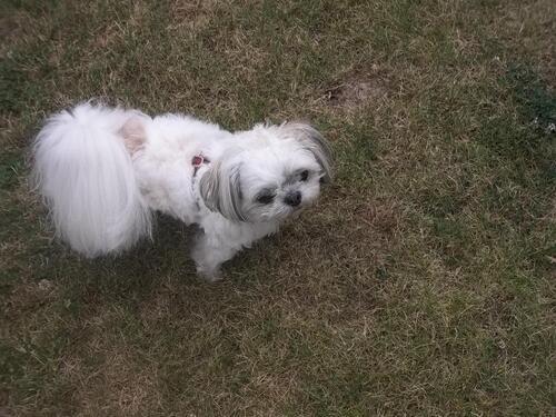 mon petit chien shih-ztut