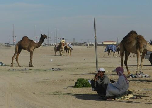 UAE Sweihan, Chameaux