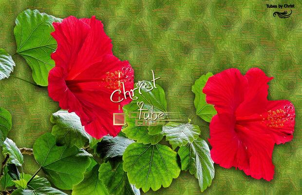 Hibiscus Rouge.