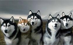 Les huskys