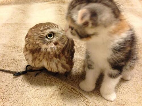 Chouette et chat